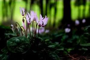 פרח פרחים רקפת יער לבבות לב