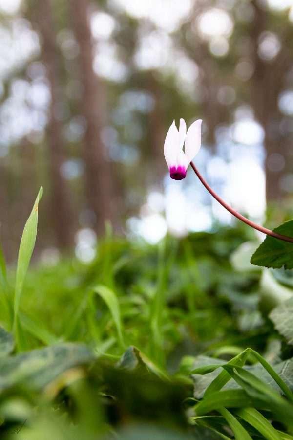 רקפת מציץ פרח