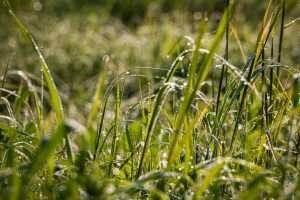 דשא רענן צומח ירוק