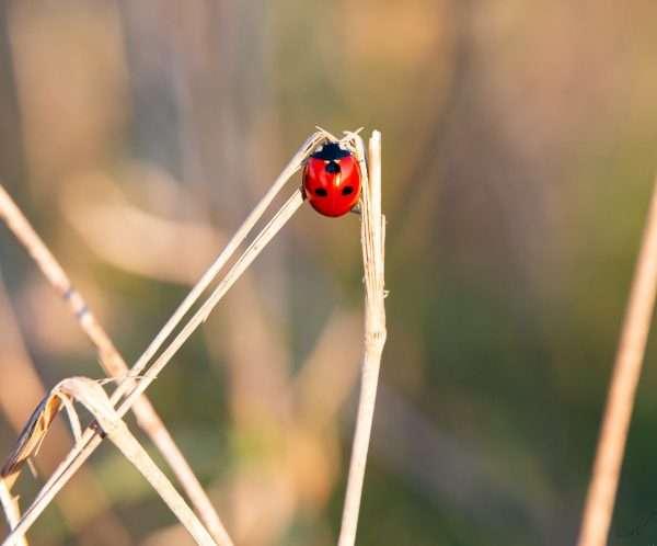 חיפושית, משה רבנו, אדום, מתוקה