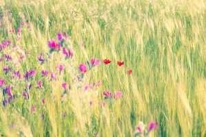 שדה, פרחים, כלניות, פרחים