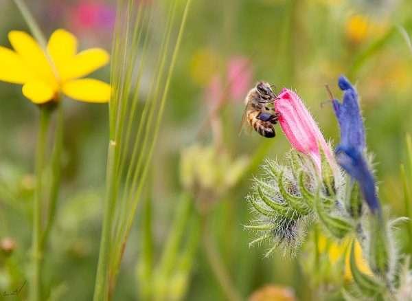 דבורה, פרחים, צוף, שדה