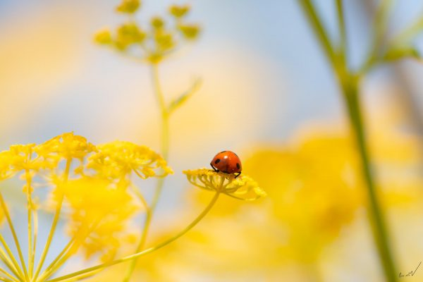 מושית, פרת משה רבנו, חיפושית