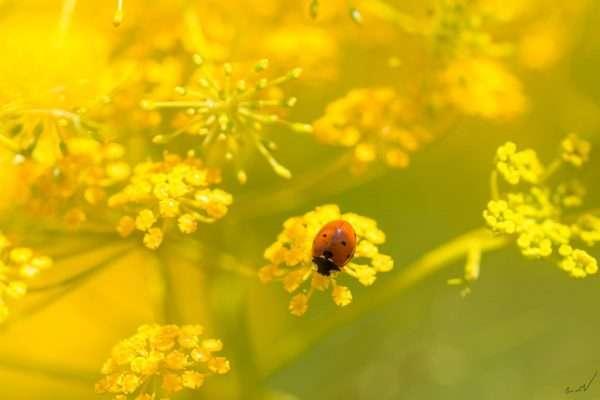 מושית, פרת משה רבנו, חיפושית, שדה, צהוב