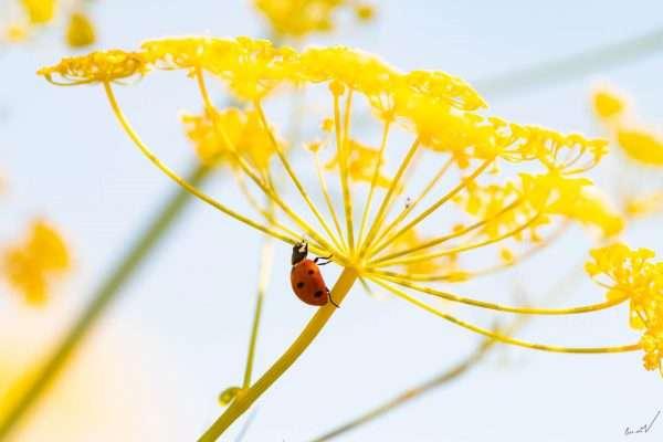 חיפושית, מושית, פרת משה רבנו, פרח, צהוב