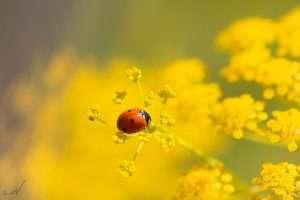 מושית, פרת משה רבנו, חיפושית, צהוב, פרחים