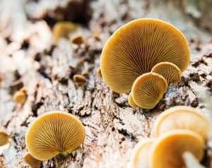 פיטריות, עץ