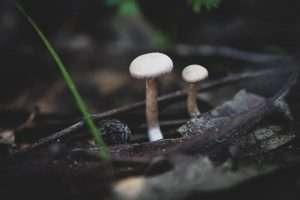 פיטריות, יער