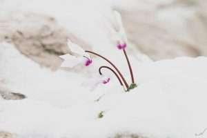 שלג, פרח, רקפת