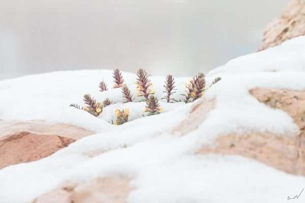 שלג, פרחים