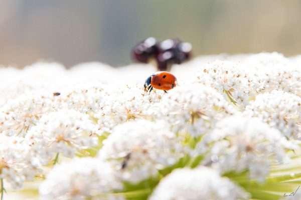 חיפושית, מושית, פרת משה רבנו, לבן, פרח
